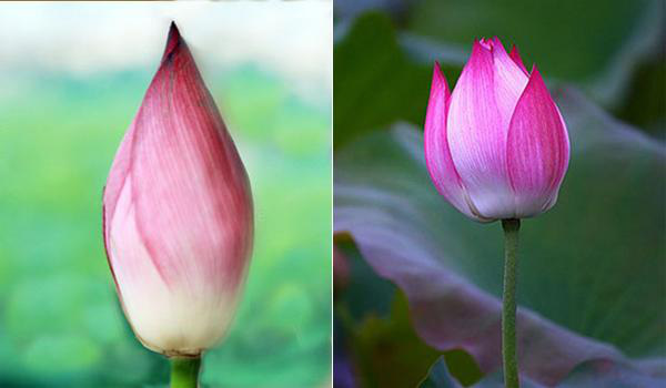 Chị bán hoa bật mí mẹo dễ nhất để phân biệt hoa sen và hoa quỳ tránh tiền mất mà rước cục tức vào người - Ảnh 2.