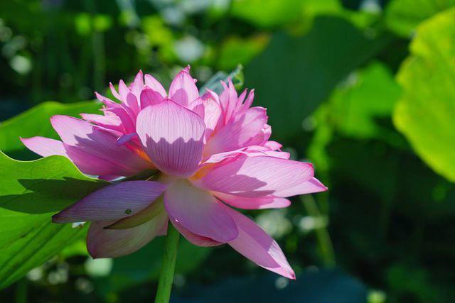 Chị bán hoa bật mí mẹo dễ nhất để phân biệt hoa sen và hoa quỳ tránh tiền mất mà rước cục tức vào người - Ảnh 1.
