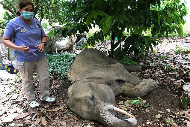 Đã bắt giữ được nghi phạm trong vụ voi mẹ mang thai chết tức tưởi vì ăn phải dứa nhồi pháo nổ - Ảnh 3.