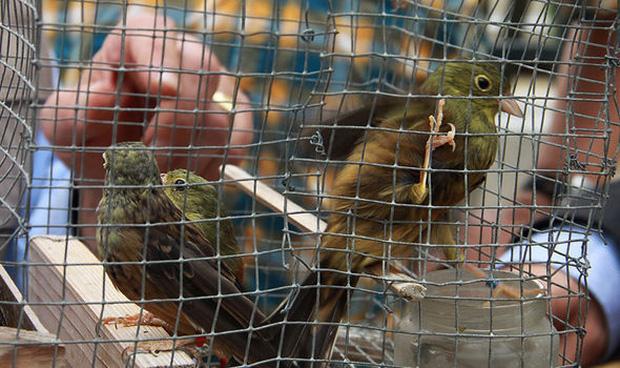 Món thịt chim nướng trên bàn ăn của các đại gia và nỗi đau của các con chim họa mi bị giết thịt một cách rùng rợn - Ảnh 5.