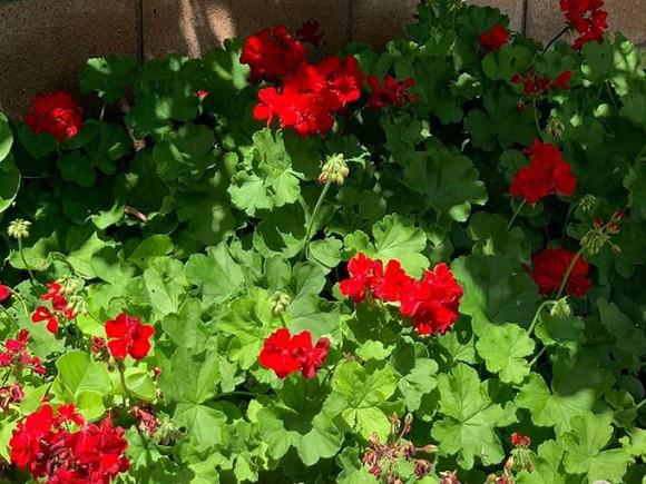 """""""Búp bê"""" Thanh Thảo tránh dịch COVID-19 fan mới có dịp ngắm khu vườn đầy hoa trái trong biệt thự triệu đô của cô ở Mỹ - Ảnh 13."""