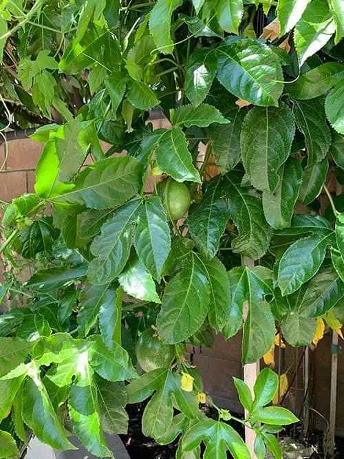 """""""Búp bê"""" Thanh Thảo tránh dịch COVID-19 fan mới có dịp ngắm khu vườn đầy hoa trái trong biệt thự triệu đô của cô ở Mỹ - Ảnh 9."""