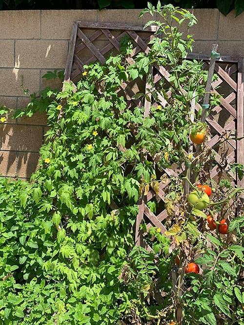 """""""Búp bê"""" Thanh Thảo tránh dịch COVID-19 fan mới có dịp ngắm khu vườn đầy hoa trái trong biệt thự triệu đô của cô ở Mỹ - Ảnh 10."""