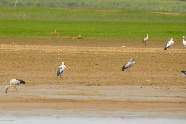 Hàng trăm con chim giang sen quý hiếm xuất hiện ở hồ Trị An - Ảnh 1.