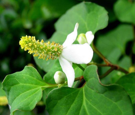 Loại rau mùi tanh khiếp vía này không ngờ chính là thuốc quý trong Đông y, phụ nữ biết tận dụng không chỉ làm đẹp da mà cả đời chẳng lo viêm nhiễm  - Ảnh 1.