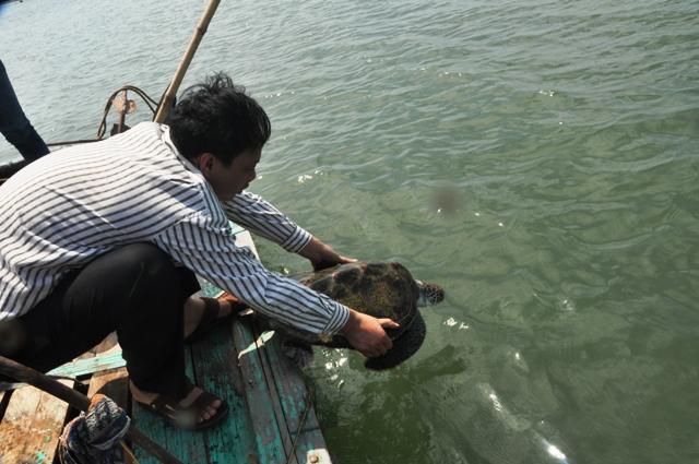 Thả rùa biển về tự nhiên 3