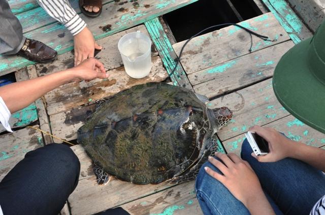 Thả rùa biển về tự nhiên 2