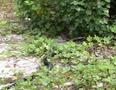 Quảng Ninh: Thả 2 cá thể rắn hổ mang chúa  3