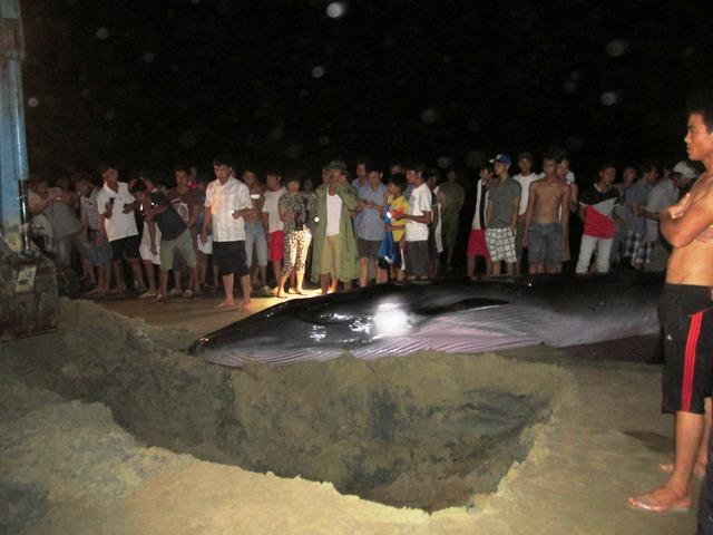 Thức trắng đêm giải cứu cá voi mắc cạn tại đảo Cô Tô 2