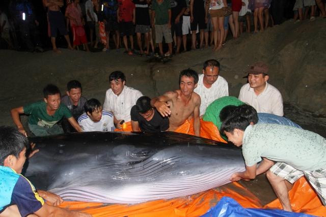 Thức trắng đêm giải cứu cá voi mắc cạn tại đảo Cô Tô 4
