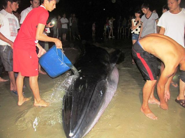 Thức trắng đêm giải cứu cá voi mắc cạn tại đảo Cô Tô 6