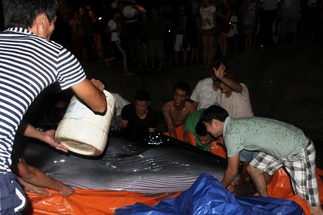 Thức trắng đêm giải cứu cá voi mắc cạn tại đảo Cô Tô 5