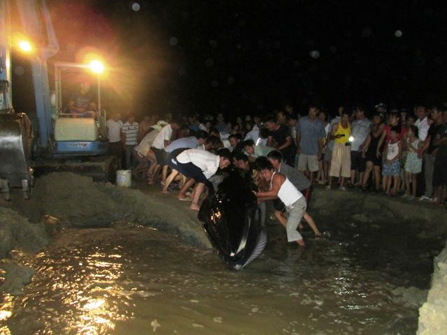 Thức trắng đêm giải cứu cá voi mắc cạn tại đảo Cô Tô 8