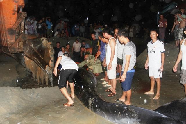 Thức trắng đêm giải cứu cá voi mắc cạn tại đảo Cô Tô 7
