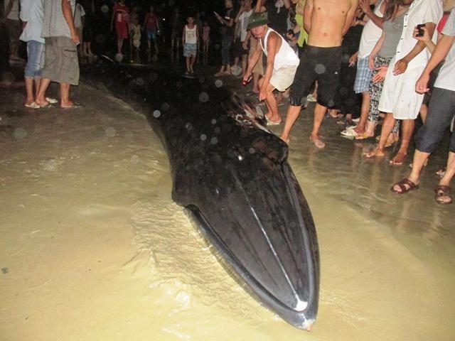 Thức trắng đêm giải cứu cá voi mắc cạn tại đảo Cô Tô 13
