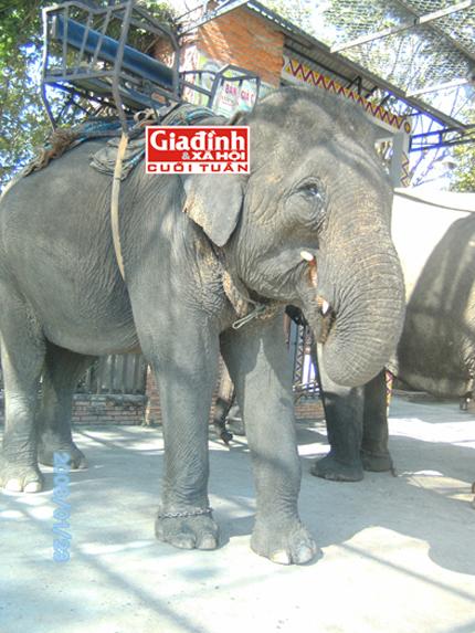 Kỳ nhân nguyện cả đời chăm sóc cho voi giữa đại ngàn: Cuộc chiến dành sự sống cho voi 2
