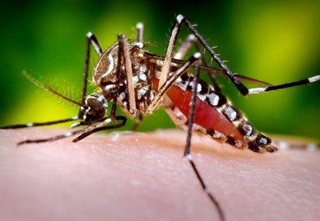 Lần đầu tiên thả muỗi để phòng bệnh sốt xuất huyết 1