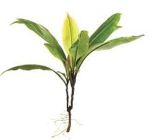 Labisia pumila - cây thuốc làm vững chắc cơ âm đạo 1