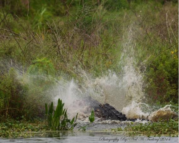 """Tận mắt chứng kiến cảnh cá sấu tiêu diệt mồi """"cá sấu"""" 1"""