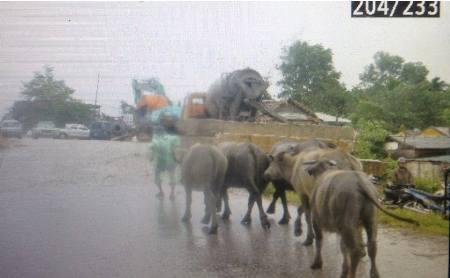 Cận cảnh người dân miền Trung vật lộn với lũ cứu tài sản, gia súc, gia cầm 2