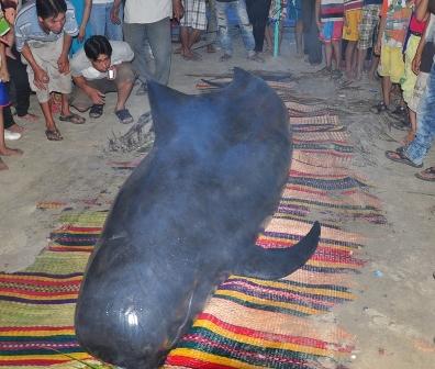 Cá voi nặng gần 1 tấn bên bờ biển Quảng Nam 1