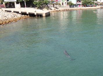 Cá heo xuất hiện tại lễ hội cầu ngư 1