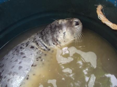 Ngư dân Đà Nẵng bắt được con hải cẩu quý hiếm  1