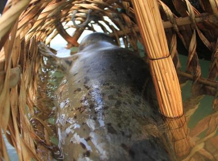 Bắt được hải cẩu gần bờ biển ở Đà Nẵng 2
