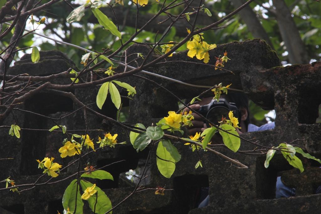 Cận cảnh hoa mai nở rợp trời trên núi Ngũ Hành Sơn 11