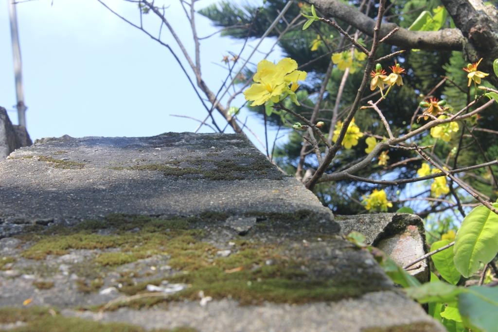 Cận cảnh hoa mai nở rợp trời trên núi Ngũ Hành Sơn 16