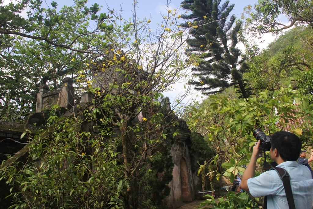 Cận cảnh hoa mai nở rợp trời trên núi Ngũ Hành Sơn 13