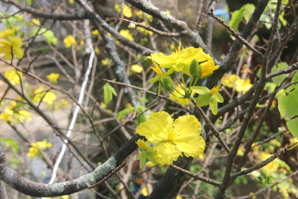 Cận cảnh hoa mai nở rợp trời trên núi Ngũ Hành Sơn 4