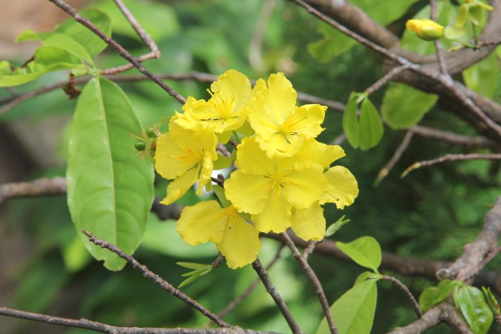 Cận cảnh hoa mai nở rợp trời trên núi Ngũ Hành Sơn 8
