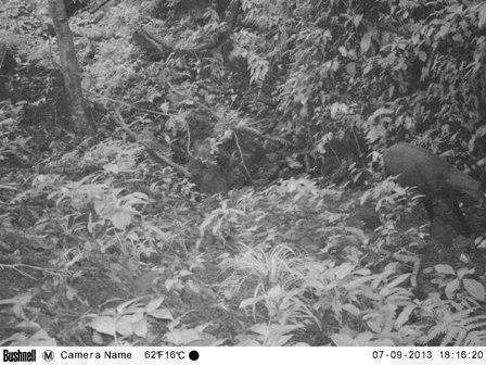 Phát hiện loài sao la quý hiếm ở rừng Quảng Nam 1