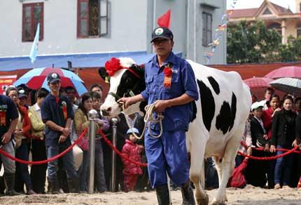 Bò sữa đi thi Hoa hậu 3