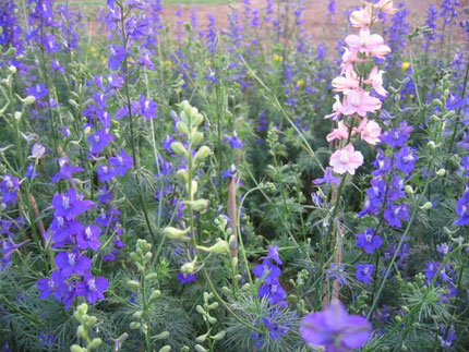 Truyền thuyết về hoa Violet 1