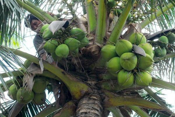 dừa xiêm, giá dừa, dừa, nhà vườn bến tre, trái dừa xiêm Bến Tre