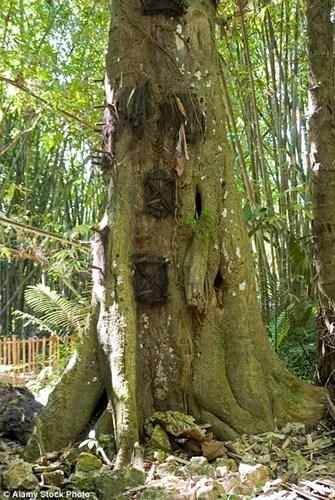 Người dân địa phương thực hiệnnghi lễ chôn cấtđộc đáo này vì tin rằng, nếu thi thể được chôn cất trong thân cây qua nhiều năm lại càng được thần cây và mẹ thiên nhiên bảo vệ.