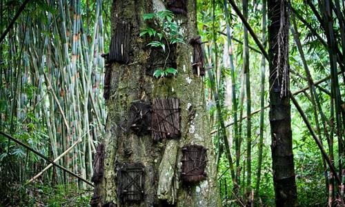 Thông thường hàng chục thi hài trẻ em được an táng trong mỗi thân cây. Đặc biệt, chỉ có trẻ em qua đời khi chưa mọc răng mới được chôn cất theonghi lễ an tángnày.