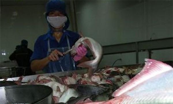Cá xuất khẩu có sử dụng loại hóa chất giúp tăng trọng