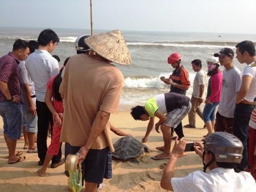 Cứu hộ, thả rùa quý về biển an toàn.