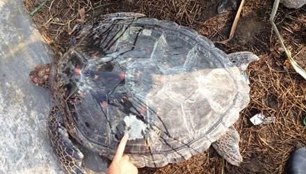 Rùa biển quý hiếm lạc vào hồ nuôi tôm của dân.