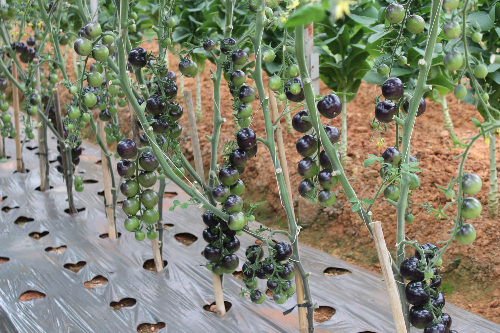 Cà chua tím cũng được trồng thành công ở đây.