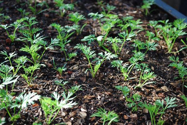Hạt giống nảy mầm sau khi gieo hạt khoảng 7 - 10 ngày. Mỗi ngày, cần tưới 1 lần vào sáng sớm khi mới gieo hạt để cà rốt mọc đều.