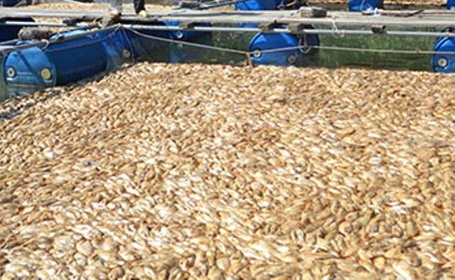Cá điêu hồng chết trắng lồng ngày đầu tiên sau bão số 3 của hộ ông Sâm. Ảnh Nguyễn Cầu