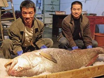 Giá của cá Sủ vàng có thể lên đến cả chục tỷ đồng.