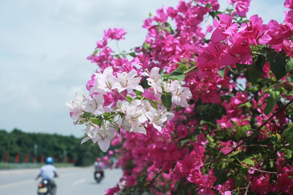 hoa giay 5