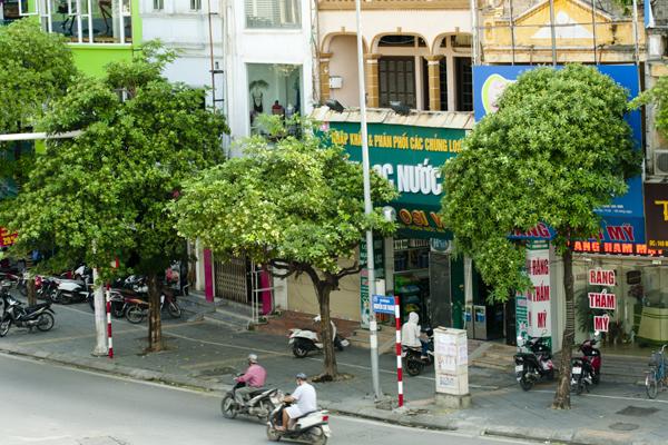 Góc phố Nguyễn Chí Thanh được trồng cây hoa sữa với mật độ khá dày.