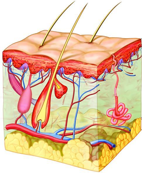 Kết hợp hà thủ ô cùng các thảo dược khác để tăng cường khả năng tuần hoàn máu đến các nang tóc