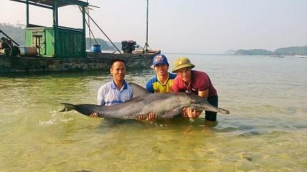 Ngư dân huyện đảo Cô Tô thả chú cá Heo về với biển. Ảnh : Thu Báu